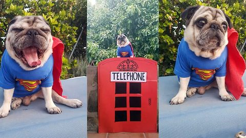 Bark kent or super pug – Pooch has heroic change into Superhero