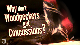 S4 Ep12: Why Don't Woodpeckers Get Concussions? - Video