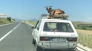 Most relaxed goat alive hitches ride on top of car - Video