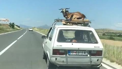 Most relaxed goat alive hitches ride on top of car