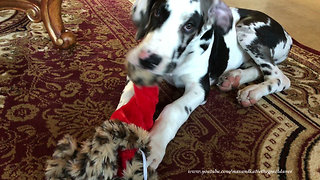 Great Dane puppy gets his first taste of Christmas - Video