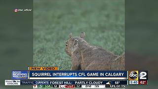Squirrel interrupts CFL game in Calgary - Video