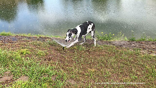 Great Dane Puppy's First Experience With Sprinklers