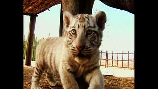 White Bengal Tiger Cub - Video