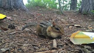 Chipmunk Obsessed With M&Ms - Video