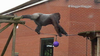 Massive silverback gorilla walks tightrope with ease - Video