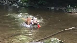 Dog Practices Saving Owner From Drowning And Passes With Flying Colors - Video