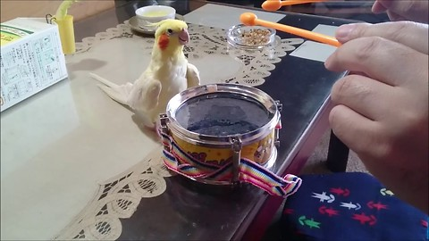 Cockatiel Hears Owner Tapping On Drum, Responded in a Way No One Expected