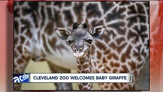 The Cleveland Metroparks Zoo welcomes new giraffe calf, and he's adorable