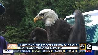 Harford County Animal Control Officer rescues Bald Eagle - Video