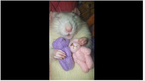 Pet rat cuddles with his teddy bear friends