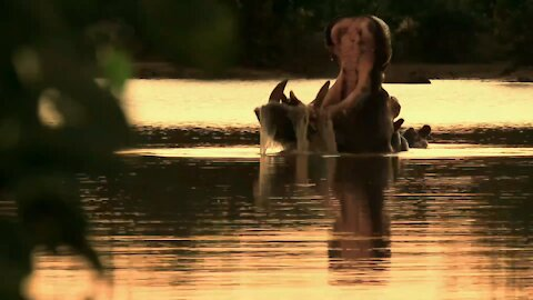 Dominant hippo bull performs wide-mouth yawn to show off his tusks