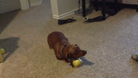 A Dachshund Won't Share An Apple With Her Owner