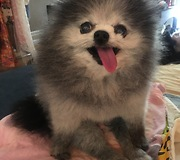 Pomeranian communicates through grumbles and intense stares