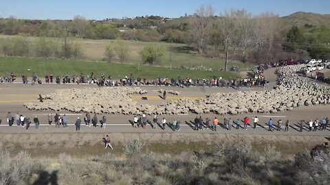 A record number of people watch sheep cross Highway 55 in Idaho