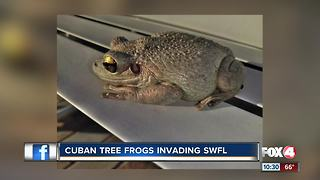 Cuban Tree Frogs Invading SWFL