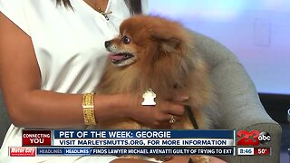 Pet of the Week: Georgie, Pomeranian Mix