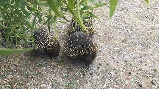 Echidnas Form 'Love Train' Around New South Wales Woman - Video