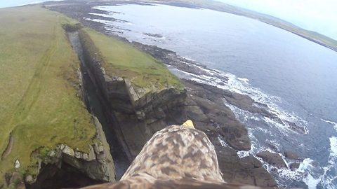 Now that's a bird's eye view! Sea eagle's headcam captures stunning view as it swoops across Orkney cliffs
