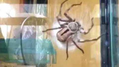 Timelapse Shows Huntsman Spider Building Egg Sac