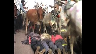 People Trampled By Cow Stampede - Video