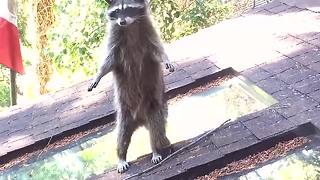 Mama raccoon teaches baby to climb tree - Video
