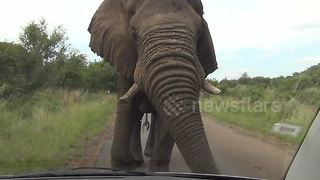 Large bull elephant brushes past car at wildlife park - Video