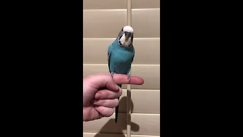Chatty budgie loves to beatbox for the camera
