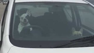 Impatient dog honks car horn to hurry up owner
