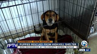Tri-County Animal Rescue: 50 puppies recued from high-kill shelter getting ready for a forever home - Video