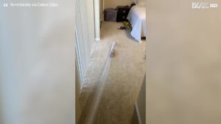 Ferrets have three times the fun with plastic tube!