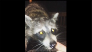 Man fearlessly hand-feeds wild raccoon - Video