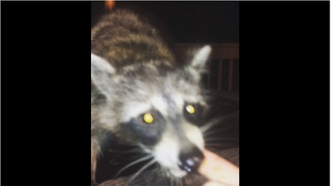 Man fearlessly hand-feeds wild raccoon