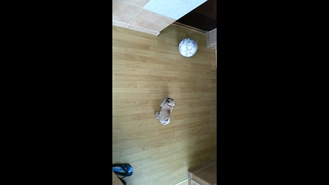 Pug puppy unsure how to play with soccer ball