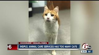 Adoption fee waved for cats at Indianapolis Animal Care - Video