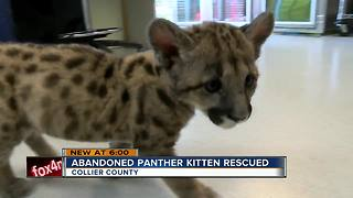 Naples Zoo to get rescued panther kitten - Video