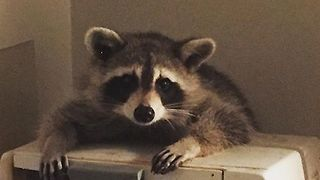 Raccoon Throws Himself a Dinner Party in Toronto Woman's Kitchen