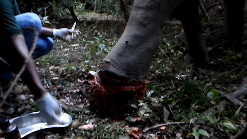 Human save dying elephant-highest quality fallen wild elephant footages