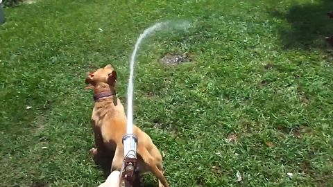 Dogs Love Playing With The Water Hose