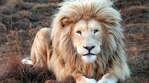 The MANE attraction – King Lion shows off all its beauty in South Africa