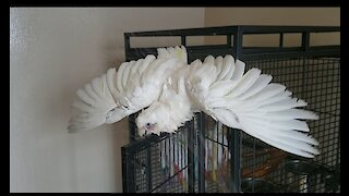 Cookie the Cockatoo Loves Taking Showers!