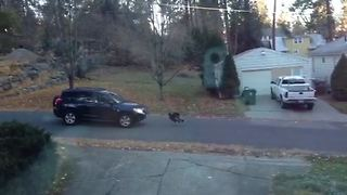 Wild Turkey VS Car: Who Wins This Battle? - Video