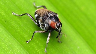 Fly-mimicking weevil communicates by drumming with snout