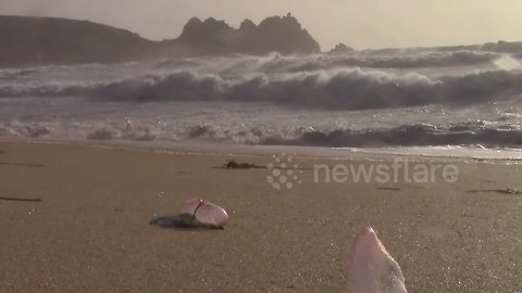 Portuguese men-of-war swept up by Ophelia on Cornwall beach