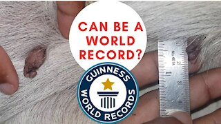 Biggest mole on a dog | Can be a world record?