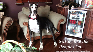 Katie the Great Dane supervises catnip fest - Video