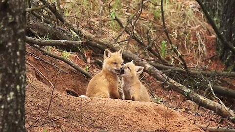 Fox Kits Frolic In The Woods Surrounded By Singing Birds