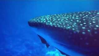 Divers Swim With Stunning Whale Shark Near Maui - Video