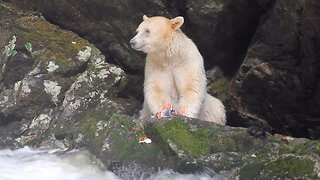 Stunning Spirit Bear Spotted Eating Salmon On Side Of River