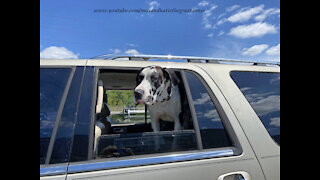 Excited Great Danes Go For A Car Ride To Pick Up A New Red Ride